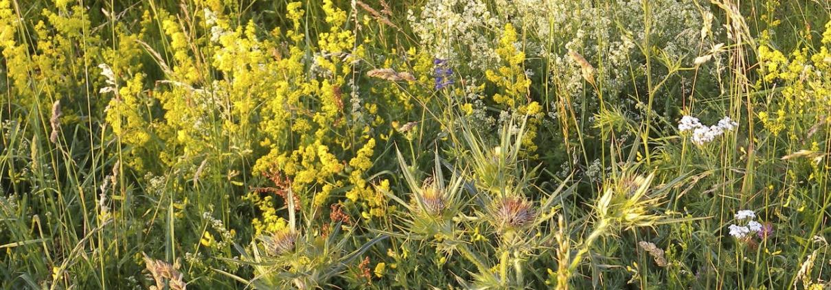 Pflanzenfarben, Echtes und Wiesen Labkraut