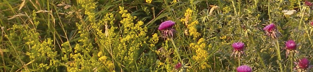 Pflanzenfarben, Gelbes Labkraut, Distel