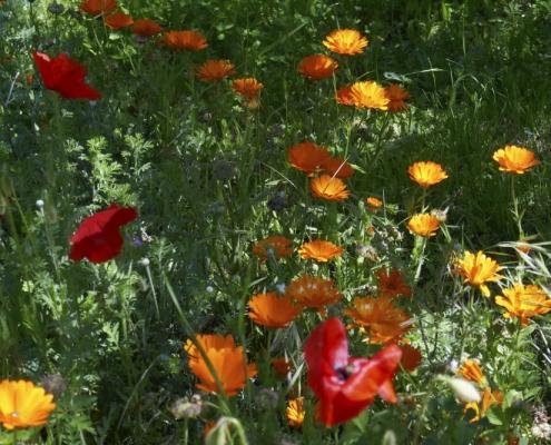 Pflanzenfarben: Ringelblumen und Roter Mohn